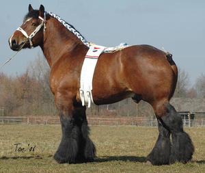 Французская лошадь першерон