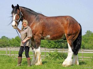 Темперамент французской лошади породы першерон