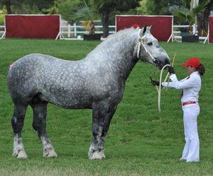 Использование лошадей породы першерон