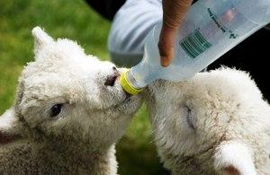 Советы для овцеводам