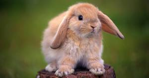 Продолжительность жизни кроликов