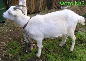 Зааненские коза