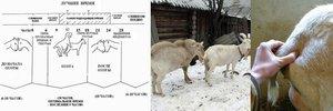 Как определить охоту у козы
