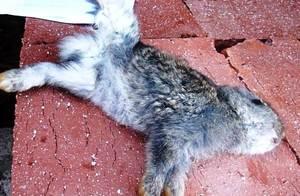 Энрофлон инструкция по применению для кроликов