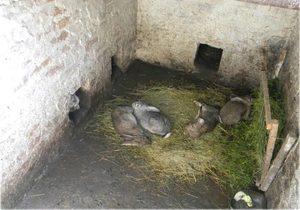 Как разводить кроликов в яме