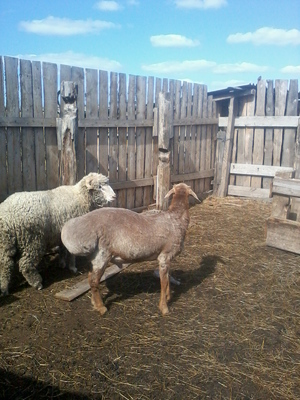 Как выглядят курдючные овцы