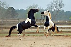 Лошади пегого окраса
