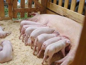 Плюсы и минусы разведения свиней
