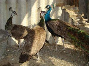 Разведение самцов и самок павлина