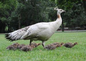 Кормление птенцов павлинов