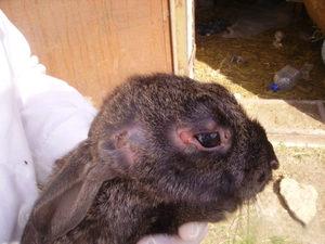 Особенности заболевания миксоматоз у кроликов