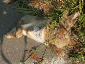 Пути заражения кроликов миксоматозом