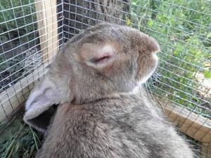 Описание видов миксоматоза у кроликов