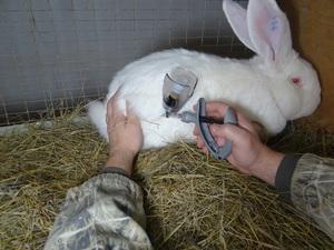 Особенности проведения вакцинации кроликов от миксоматоза