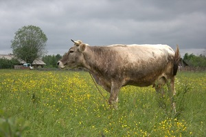 Как ухаживать за коровой