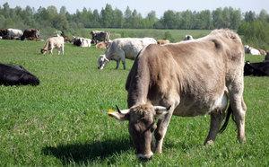 Как содержать коров