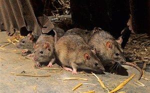 Способы избавиться от крыс в сарае