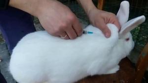 Способ выполнения прививок от миксоматоза кроликам
