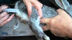 Способ прививки кроликов от ВГБК