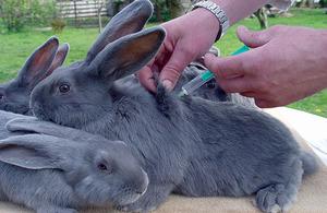 Описание необязательных прививок кроликам