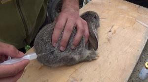 Способ выполнения прививок от бешенства кроликам