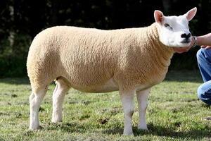 Описание породы овец