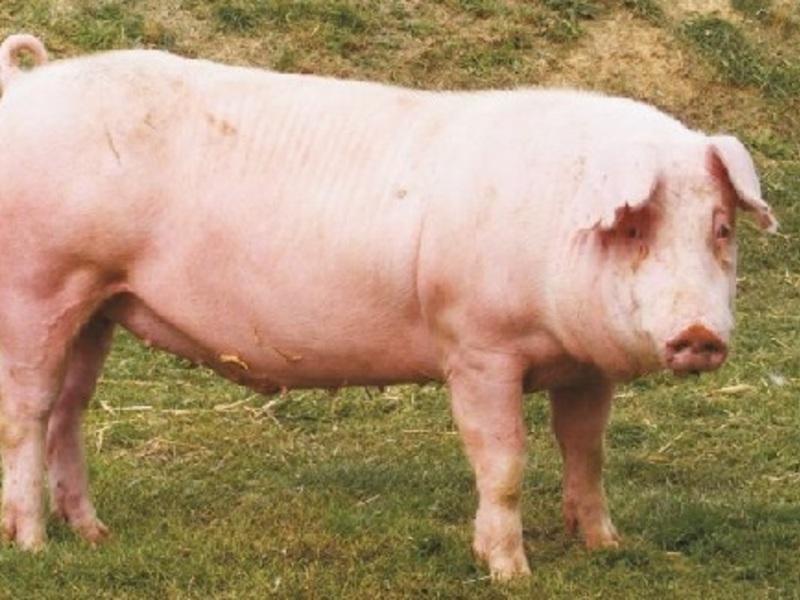 начал непримиримую свиньи ландрас фото раз она выходила