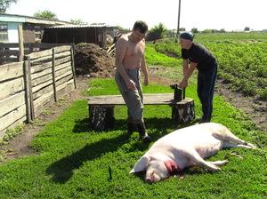 Обработка тушки свиньи