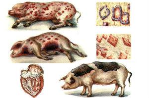 Какими препаратами лечат рожу у свиней