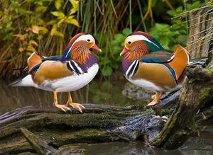Описание внешнего вида утки-мандаринки