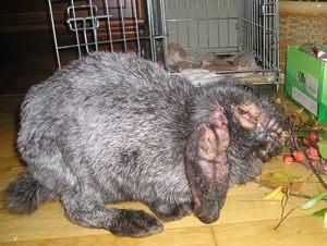 Кролики и их болезни