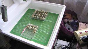 Особенности изготовления инкубатора для перепелиных яиц своими руками
