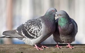 Какова продолжительность жизни голубей