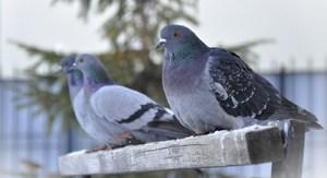 Голуби-камикадзе»- как Красная Армия использовала птиц на войне - Русская семерка