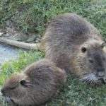 Биологические особенности нутрии- Животноводство