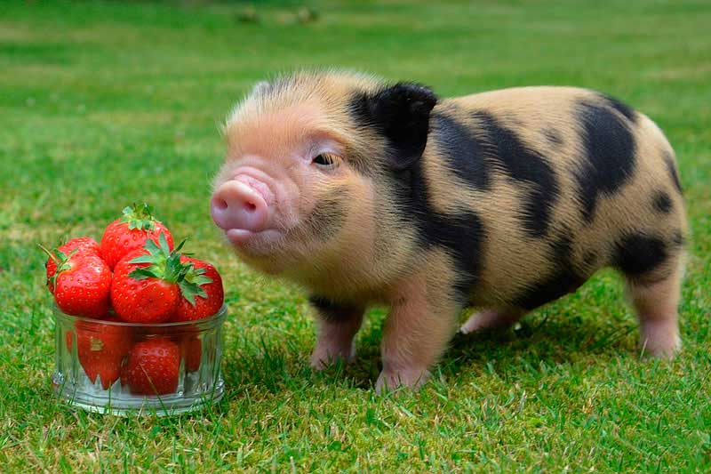 знаю, фото большая мини свинка приготовить нее