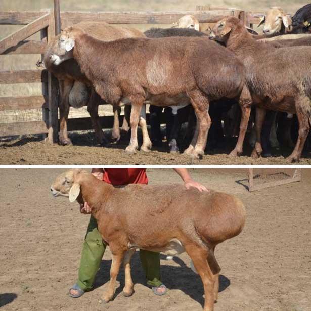 Предлагаю курдючных овец эдильбаевской породы (мясного направления).